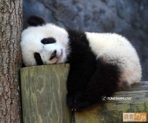 exhausted panda