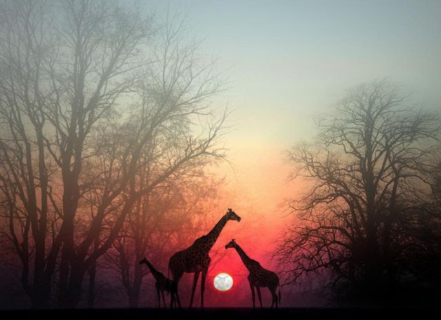 Adult and younger giraffe at sunset