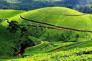 Munnar Tea Plantation tours & travel packages