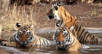 Sariska Tiger reserve safari's.