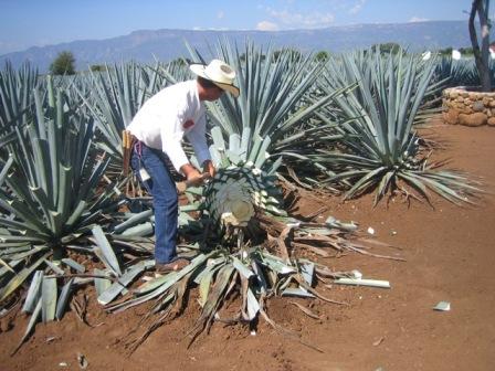 Tequila Farming