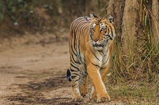 Tigers and temple tours of India