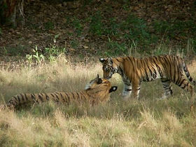 Bandhavgarh tiger safari's and travel packages