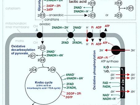 Hızlı Büyüyen Hücrelerin Metabolizması.
