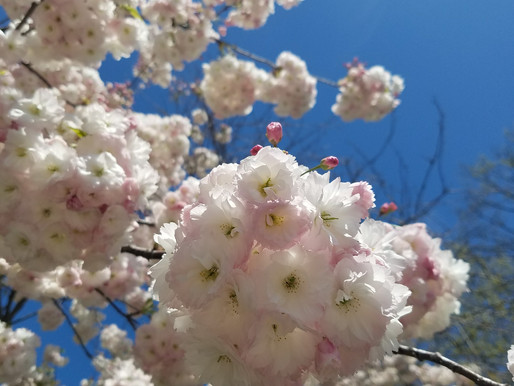 5 Cherry Blossom Backdrops in NYC to See Now!