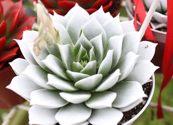 Echeveria Large - Coloured (Potted)