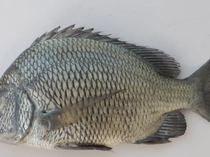 Breeding breakthrough for Indian sea bream species-        B - AIM PICK SELECTS