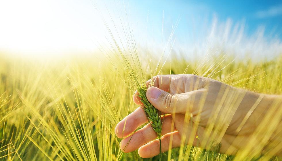 2017-Purchased-Wheat%20in%20Hand-Shutterstock01_edited.jpg