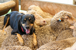 2017-Purchased-Dog on Sheep-Shutterstock