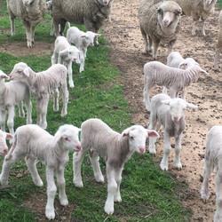 Steven Bolt - Sheep