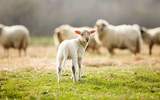 picture of lambs and sheep on grass