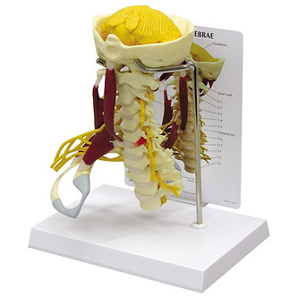 Modelo Coluna Vertebral Cervical