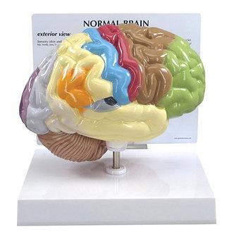 Half brain sensory/motor