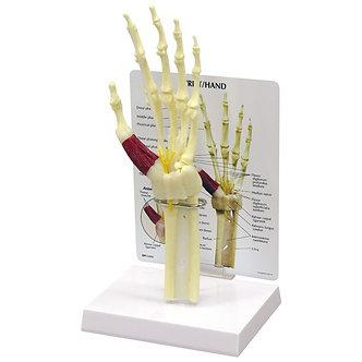 Modelo Mão/Punho