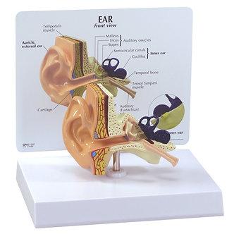 Modelo Ouvido