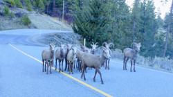 Local mountain sheep