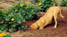 8 dicas para o cão parar de cavar o jardim