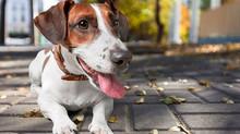 Conheça as 10 raças de cachorro mais amadas pelos brasileiros
