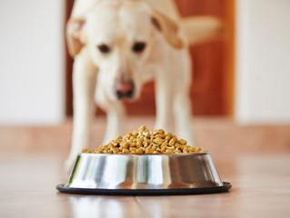 Cachorro vomitando ração depois de comer