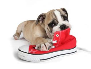 Meu cachorro ama morder sapatos e chinelos – como solucionar o problema