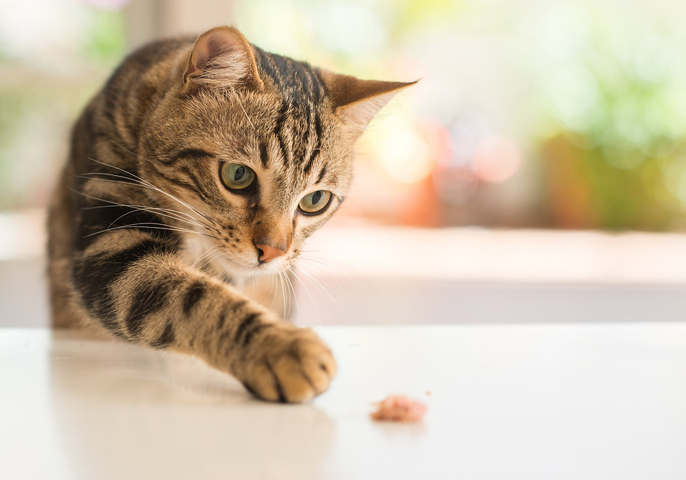 Beautiful feline cat at home. Domestic a