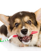 Pembroke Welsh Corgi puppy with a toothb