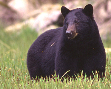 #151 Science Shorts: Alaska opens hunting for bear cubs and wolf pups in dens.
