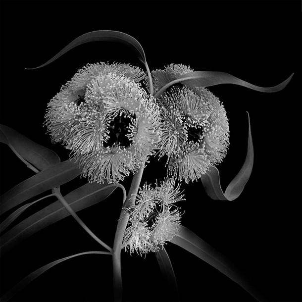 B&W Eucalyptus 01