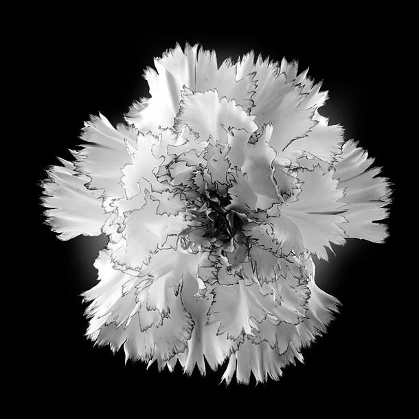B&W Carnation 01