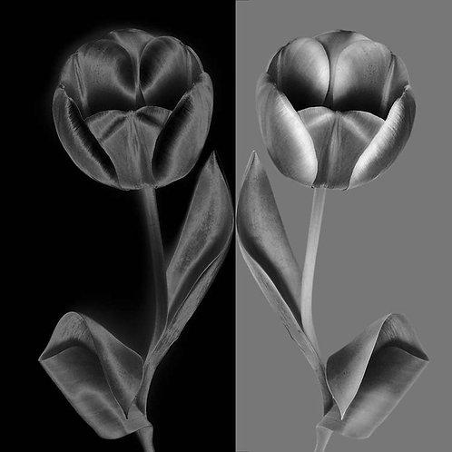 JF Tulip B&W 03