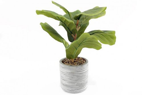 Fig Plant In Pot