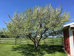 Tree Pruning Belgrade, MT