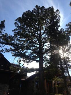 Tree Pruning Big Sky, MT