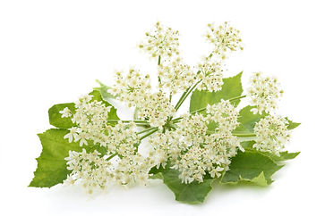 Organic Angelica Root Essential Oil