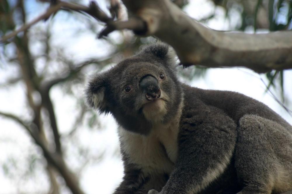 Koala Australia Photo by Julie Stevens