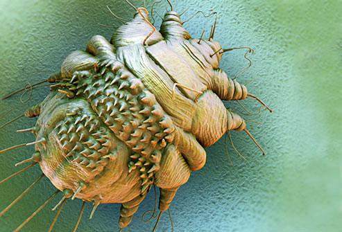 A Scabies Parasite