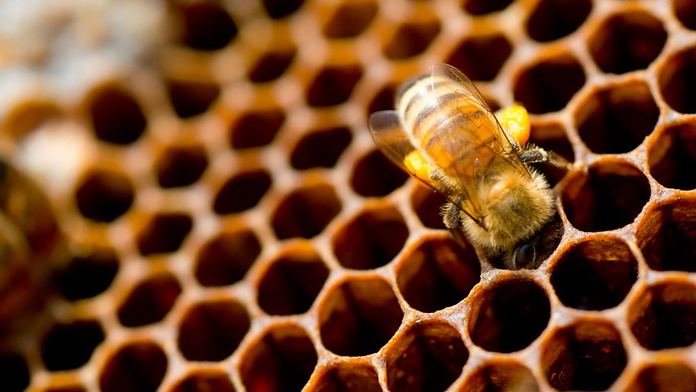 A worker bee in its beehive