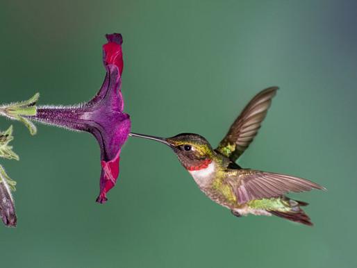 Attracting and Sustaining Hummingbirds