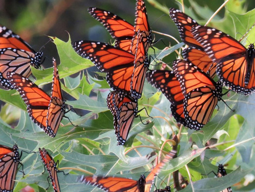 Monarch Royalty: The Blight Affecting a Butterfly