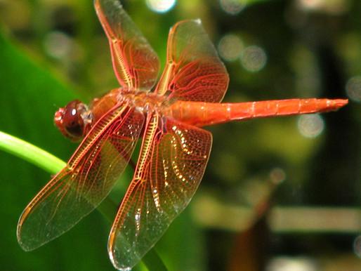 Dragonflies Aren't Pests