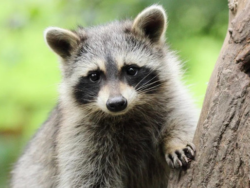 The Raccoons Ate My Lawn!