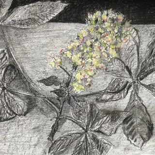 Horse Chestnut flowers.jpeg