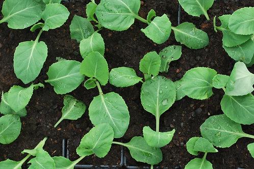 Kool 'Spitskool' - Brassica Oleracea Capitata Alba