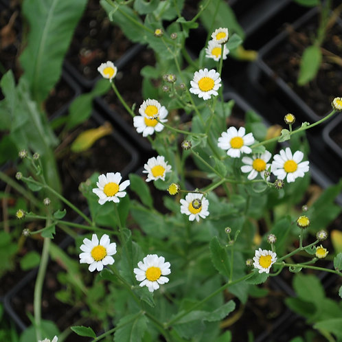 Balsemwormkruid - vrouwenmunt - Tanacetum balsamita