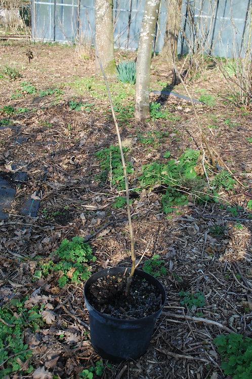 Zwarte bes 'Black Reward' - Ribes Nigrum (12) (15)