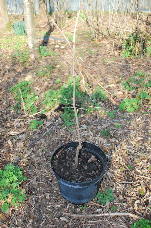 Zwarte bes 'Bona' - Ribes Nigrum (11)