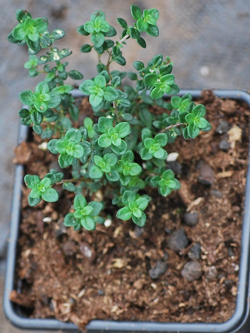 Tijm 'Groene Citroentijm' - Thymus x Citriodorus