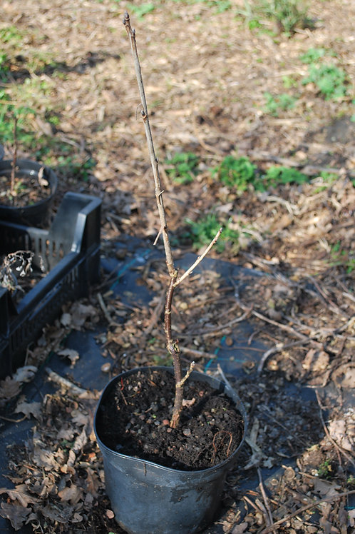 Rode (tros)bes 'Tatran' - Ribes Rubrum (10)