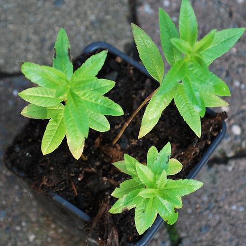 Citroenverbena - Lippa citriodora