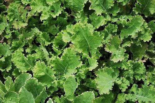 Eeuwig moes 'Ramosa' - Brassica Oleracea 'Ramosa'